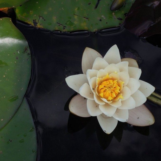 Flower petal on lily pad